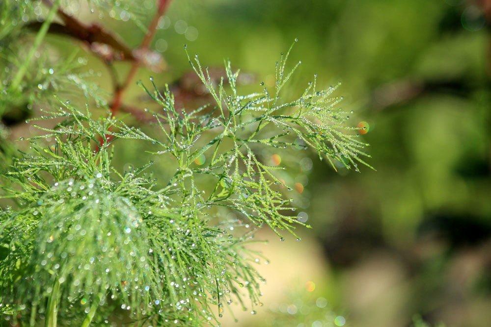 Le Clos des Herbes, producteur d'aneth en Provence