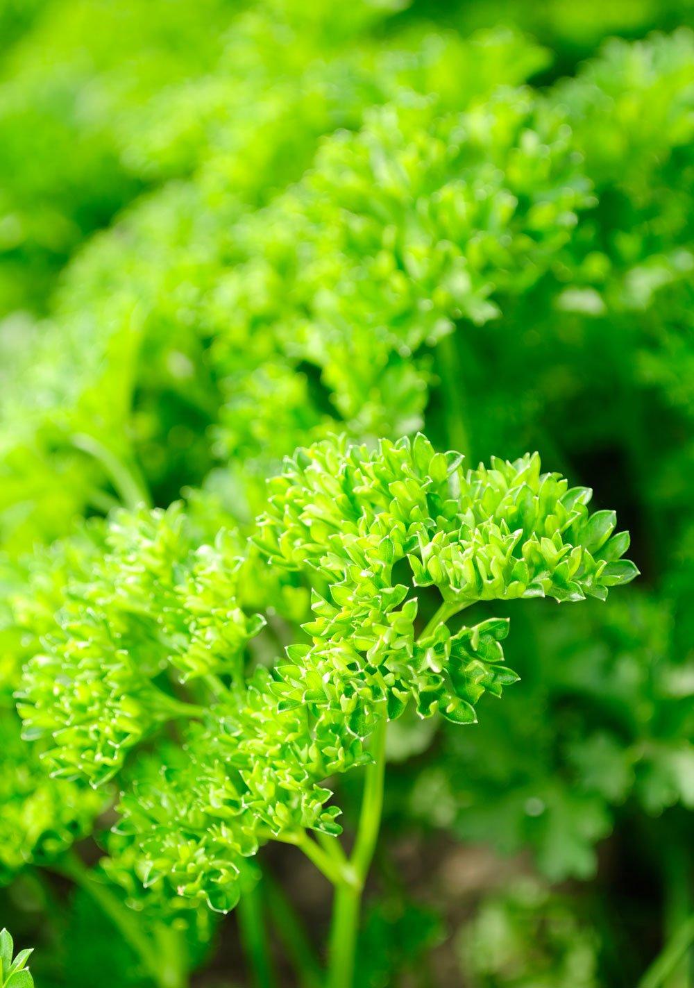 Le Clos des Herbes, producteur de persil frisé en Provence