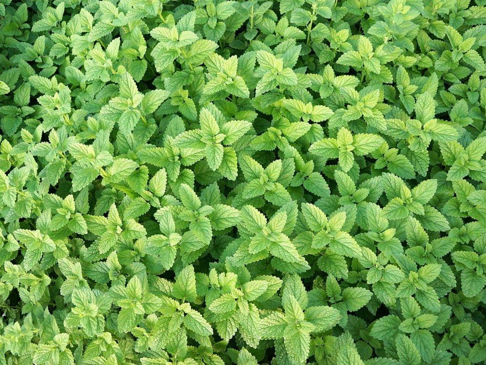 Le Clos des Herbes, producteur de menthe en Provence