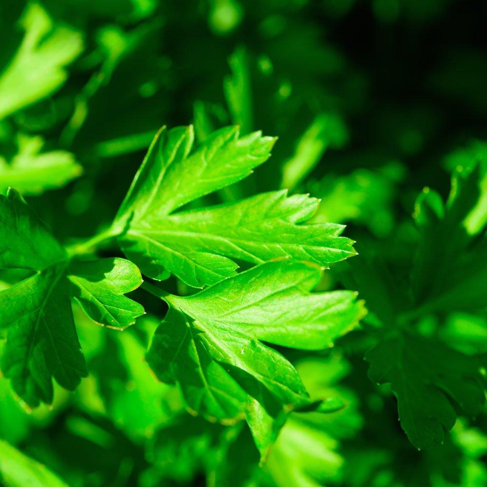 Le Clos des Herbes, producteur de persil plat en Provence