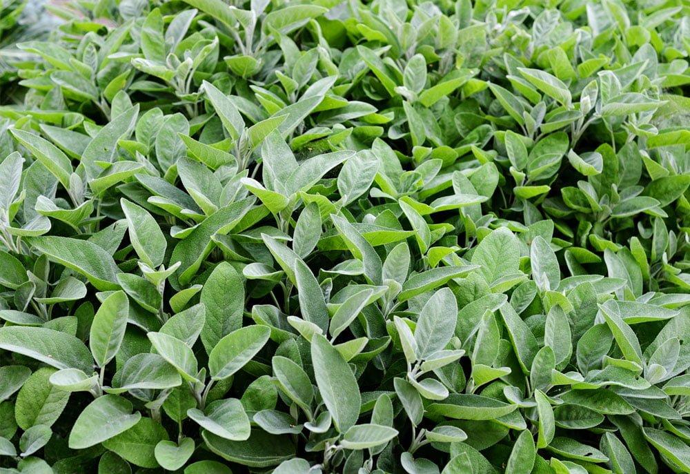 Le Clos des Herbes, producteur de sauge en Provence